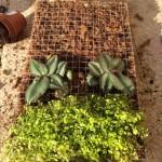 Mettre les plantes gourmandes en eau en bas du grillage