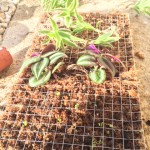 Premières plantes plantées