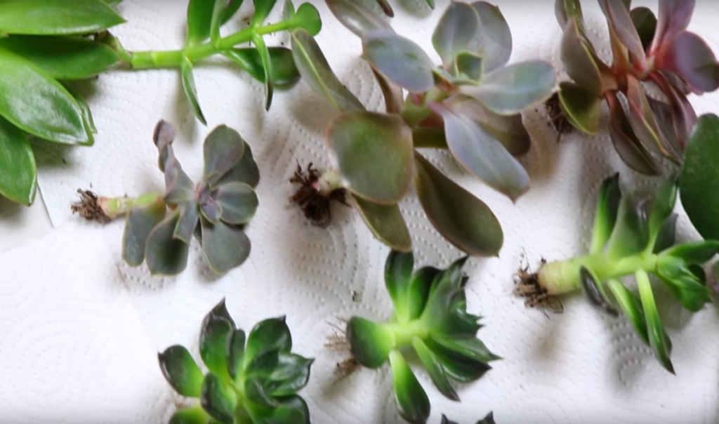 cicatrisation-succulentes
